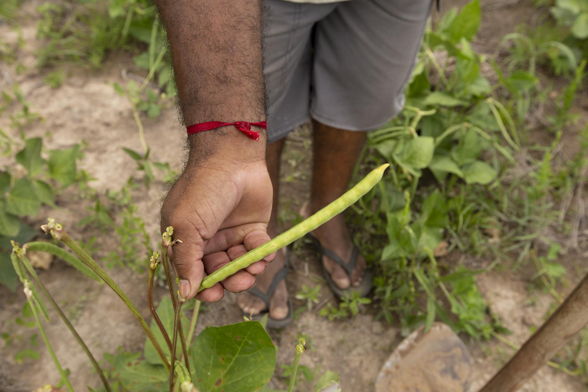Preço do feijão verde despenca no Cariri e na Serra da Ibiapaba